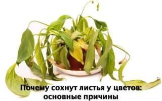 Почему сохнут листья