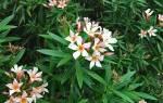 Почему не цветет олеандр в домашних условиях