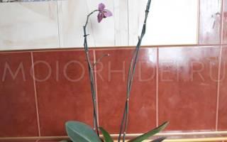 Почему орхидея сбрасывает бутоны