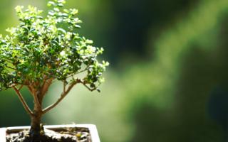 Из каких растений делают бонсай