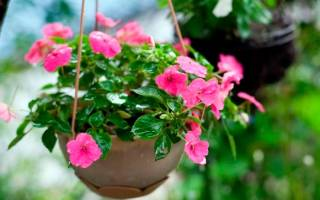 Комнатный цветок с розовыми цветами