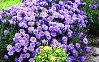 Сентябрина цветок