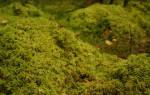 Сфагнум болотный