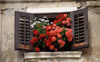 Цветы комнатные герань