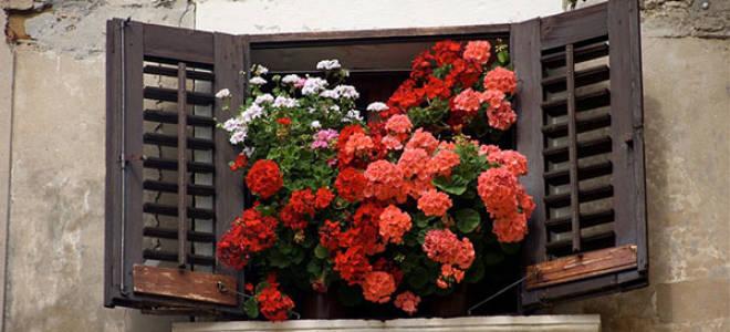 Комнатные растения герань