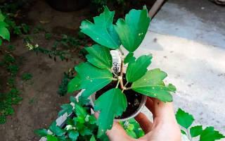 Размножение древовидного гибискуса черенками