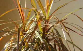 Драцена желтеют и опадают листья что делать