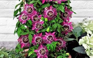 Пассифлора цветок и уход в домашних условиях