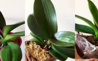 Как зацветает орхидея