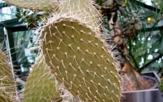 Плоский кактус