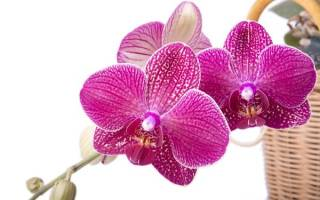 Любит ли орхидея солнце