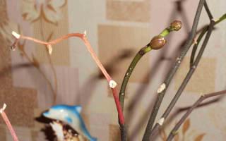 Детка орхидеи на цветоносе