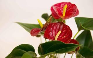 Цветок красный антуриум