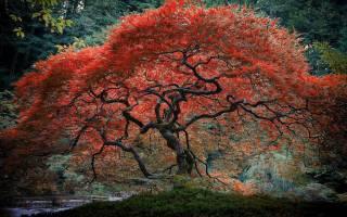 Японский красный клен посадка и уход
