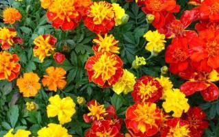 Цветки бархатцев лечебные свойства