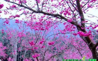 Как вырастить семена сакуры дома