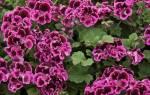 Калачики цветы