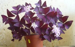 Цветок кислица уход в домашних условиях
