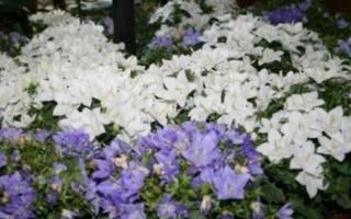 Комнатные цветы невеста и жених