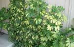 Шеффлера опадают листья что делать