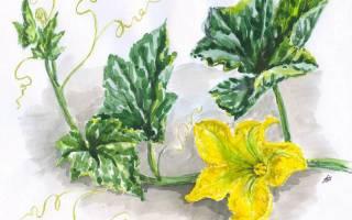 Цветок тыквы