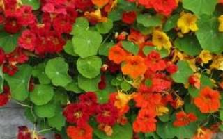 Настурция когда цветет