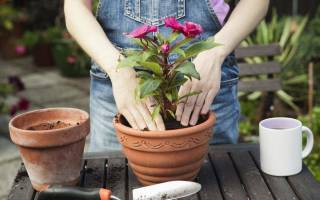 Когда лучше пересаживать домашние цветы