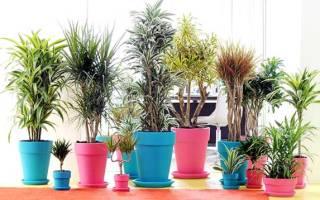 Драцена уход в домашних условиях полив