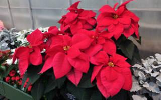 Как называется цветок с красными листьями