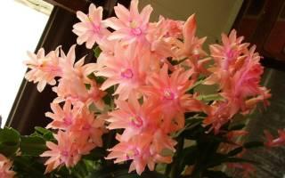 Комнатное растение декабрист