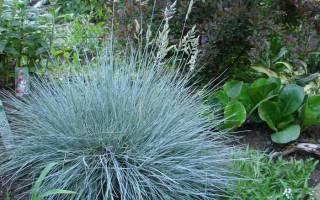Овсяница растение