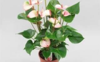 Мужская радость цветок