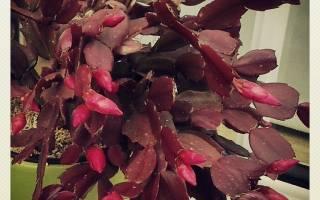 Почему у декабриста краснеют листья