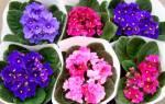 Комнатные цветы фиалка уход в домашних условиях