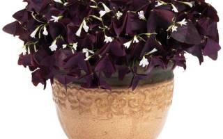 Домашний цветок с фиолетовыми листьями