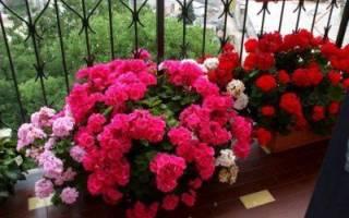 Герань ампельная уход в домашних условиях цветение