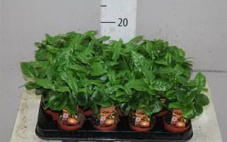 Кофе арабика комнатное растение