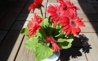 Домашний красный цветок