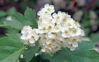 Цветы боярышника лечебные свойства