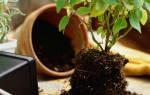 Уход за горшечными растениями