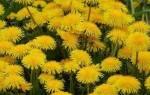 Одуванчик цветок