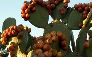 Съедобный кактус