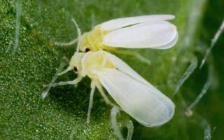 Белокрылка на комнатных растениях как бороться