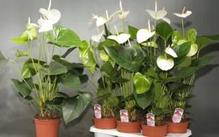 Антуриум с белыми цветами