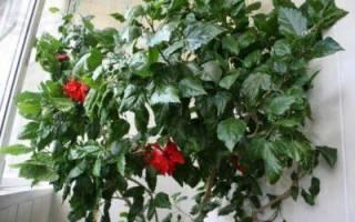 Как размножить китайскую розу