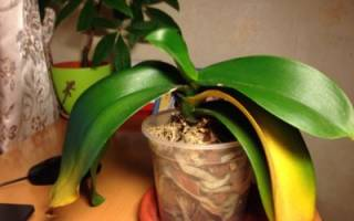 У орхидеи сохнут листья
