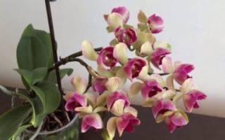 Орхидея мультифлора что это