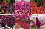 Комнатные цветы с красными листьями