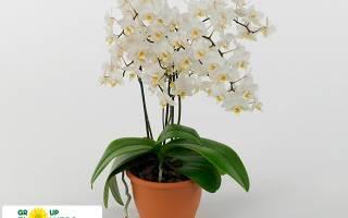 Soft cloud орхидея