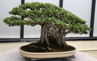 Как посадить бонсай